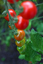 Ripe Red Cherry Tomatoes Stock Photography