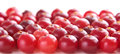 Ripe red cranberry laid in neat rows Royalty Free Stock Images