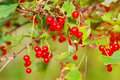 Ripe red currant on a bush Royalty Free Stock Photography