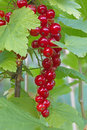 A ripe red currant in garden Royalty Free Stock Photos