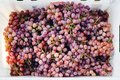 Ripe red grape. Pink bunches in a box after autumn harvest ready for wine making or for sale Royalty Free Stock Photo