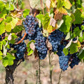 Ripe red grapes with green leaves on the grapevine ready for harvesting Stock Photography