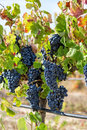 Ripe red grapes with green leaves on the grapevine ready for harvesting Stock Photos