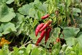 Ripe red hot chilli peppers ready for picking growing in local garden surrounded with dense green leaves and other garden plants Royalty Free Stock Photo
