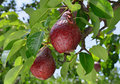 Ripe red pear grows on a branch Stock Photo