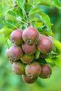 Ripe red pears in an orchard Royalty Free Stock Images