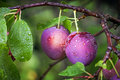 Ripe red plums on the branch two with dew droplets Royalty Free Stock Images