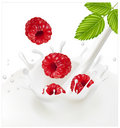 Ripe red raspberries falling into the milky splash Royalty Free Stock Image