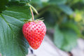 Ripe red stawberries Royalty Free Stock Photos