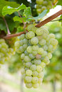 Ripe Riesling vine grapes Stock Photography