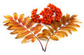 Ripe rowan berry with color leafs in autumn Royalty Free Stock Images