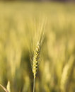 Ripe rye ear macro of over cereal field background out of focus Stock Images