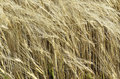 Ripe rye swaying in the wind horizontal Royalty Free Stock Photos
