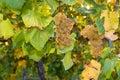 Ripe Sauvignon Blanc grapes on vine Royalty Free Stock Photo