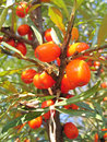 Ripe sea-buckthorn berries Royalty Free Stock Images