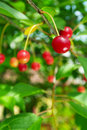 Ripe sour cherries. Royalty Free Stock Photo