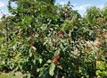 Ripe sour cherries in a cherry tree. Royalty Free Stock Photo