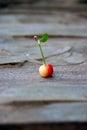 Ripe sour cherry Royalty Free Stock Photo