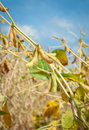 Ripe soybean fields Stock Photo