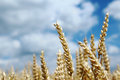 Ripe spike of wheat on agriculture field golden Royalty Free Stock Photography