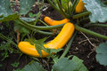 Ripe Squash Royalty Free Stock Photo