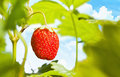 Ripe strawberry on a branch close up background of blue sky with clouds Stock Photography
