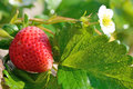 Ripe strawberry Royalty Free Stock Photo
