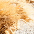 Ripe Summer Wheat Royalty Free Stock Photo