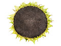 Ripe sunflower,isolated Royalty Free Stock Photo