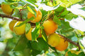 Ripe sweet apricot fruits growing on a apricot tree branch in or Royalty Free Stock Photo