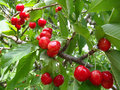 Ripe sweet cherry Stock Photography