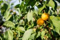 Ripe, sweet and tasty, orange and red apricots. Royalty Free Stock Photo