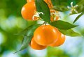 Ripe tangerine image of sweet closeup Royalty Free Stock Photo