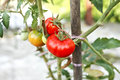 Ripe tomatoes on a branch vegetable organic Royalty Free Stock Photo