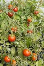 Ripe tomatoes on bush branches Royalty Free Stock Images