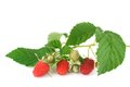 Ripe and unripe raspberries on a branch Stock Photography
