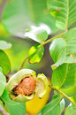 Ripe walnut shoot in garden Royalty Free Stock Photo
