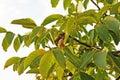 Ripe walnut on tree Royalty Free Stock Photo