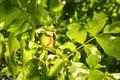 Ripe walnut on tree branch in garden Royalty Free Stock Photo