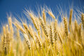 Ripe wheat on a blue sky Royalty Free Stock Photography