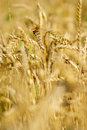 Ripe wheat with dragonfly Royalty Free Stock Photo