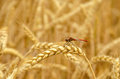Ripe wheat with dragonfly sitting on the ear Royalty Free Stock Photo