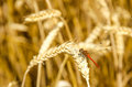 Ripe wheat with dragonfly sitting on the ear. View from above Royalty Free Stock Photo