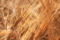 Ripe wheat dream image with Royalty Free Stock Images