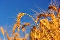 Ripe Wheat Ears Stock Photo