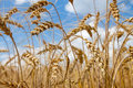 Ripe wheat ears on blue sky background Royalty Free Stock Photography