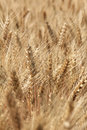 Ripe wheat ears Royalty Free Stock Photo