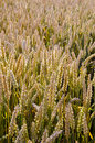 Ripe wheat field closeup agricultural background Royalty Free Stock Image