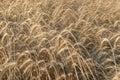 Ripe wheat field Royalty Free Stock Photo