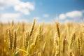 Ripe wheat landscape Royalty Free Stock Photo